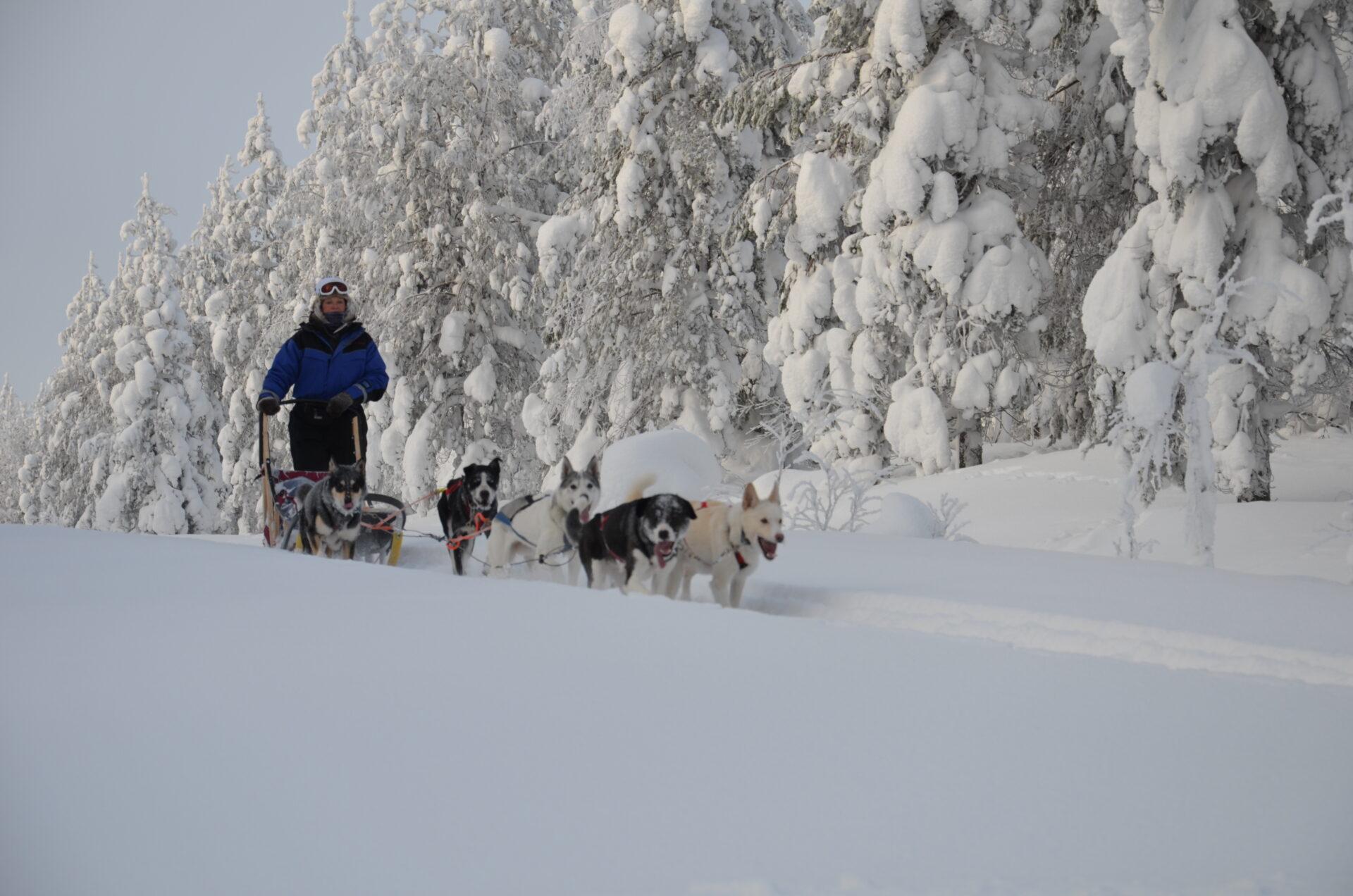 Ook in een dikke sneeuwlaag tonen de husky's hun kunnen